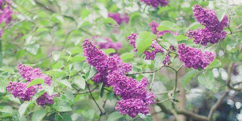 Organism, Flower, Purple, Violet, Magenta, Shrub, Flowering plant, Annual plant, buddleia, Milkweed,