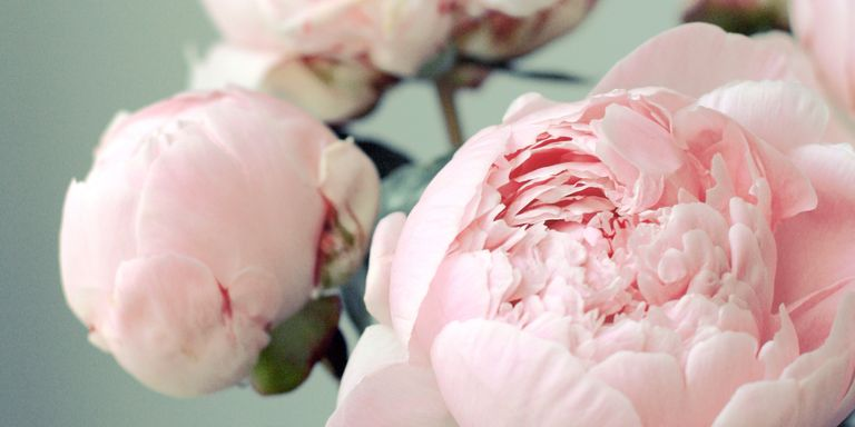 12 facts about peonies history of the peony flower potassium mightylinksfo Gallery