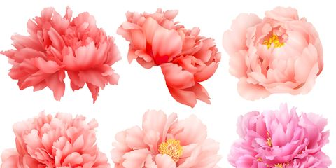 Ants Are Attracted To Peonies Because Of The Nectar That Forms On Outside Flower Buds