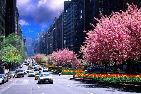 park avenue cherry blossom