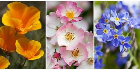 Petal, Yellow, Organism, Plant, Flower, Pink, Flowering plant, Terrestrial plant, Wildflower, Violet,