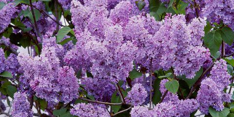 Flower, Purple, Lavender, Violet, Lilac, Spring, Shrub, Annual plant, buddleia, california lilac,