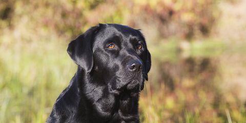 Black Labrador Retriever in autumn