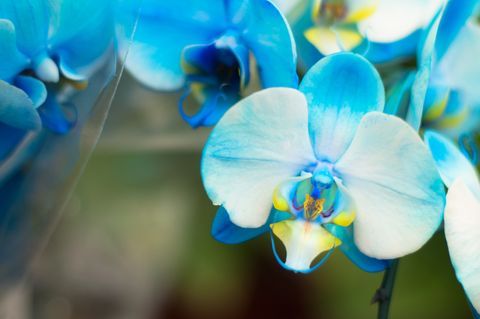 Blue, Petal, Flower, Flowering plant, Botany, Terrestrial plant, Azure, Electric blue, moth orchid, Macro photography,