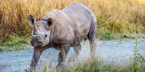 Rhinoceros, Natural landscape, Plant community, Black rhinoceros, Landscape, Plain, Nature reserve, Terrestrial animal, Adaptation, White rhinoceros,