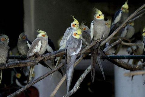 Branch, Daytime, Parrot, Yellow, Bird, Cockatiel, Vertebrate, Cockatoo, Organism, Twig,