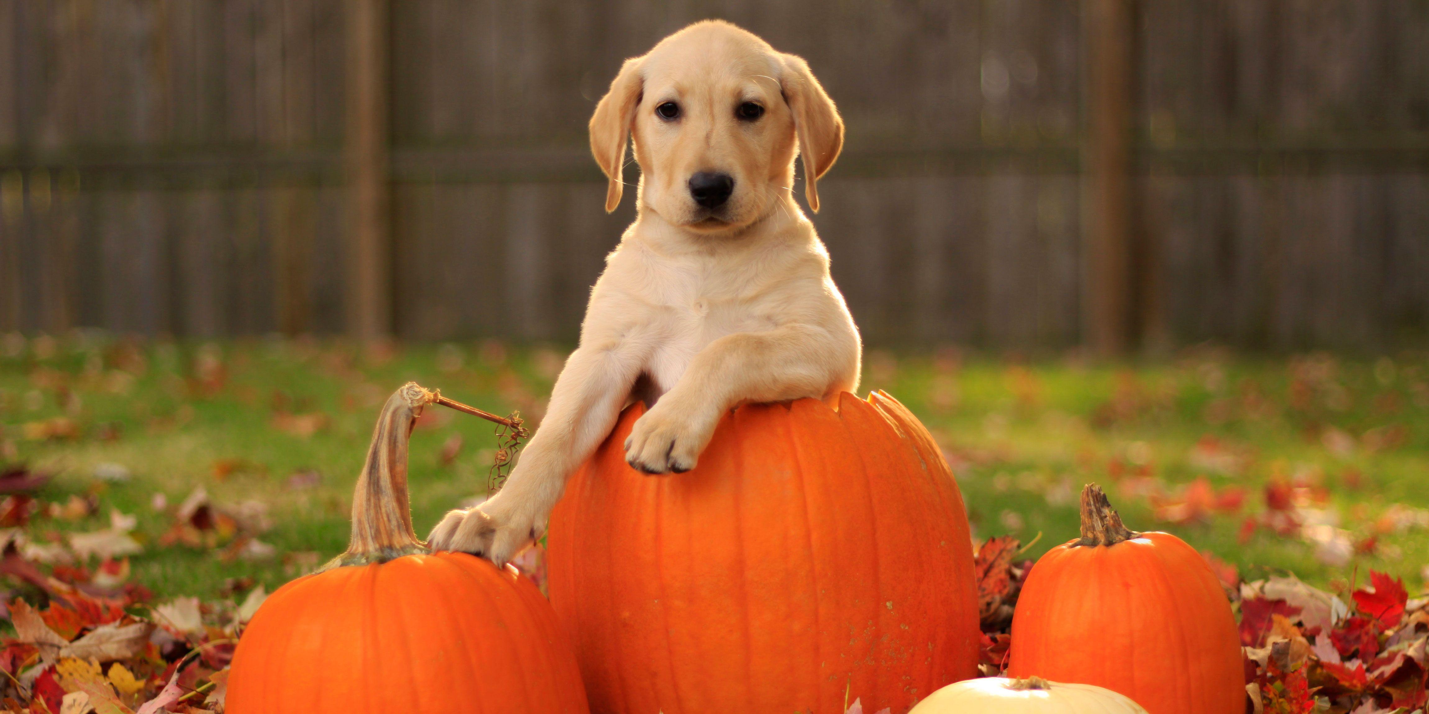 Labrador Retrievers And Pumpkins - Labrador Retrievers In The Autumn