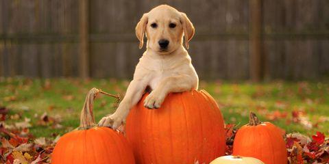 Dog breed, Vegetable, Produce, Calabaza, Natural foods, Pumpkin, Orange, Dog, Carnivore, Local food,