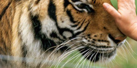 Natural environment, Organism, Skin, Vertebrate, Big cats, Whiskers, Carnivore, Felidae, Terrestrial animal, Facial expression,