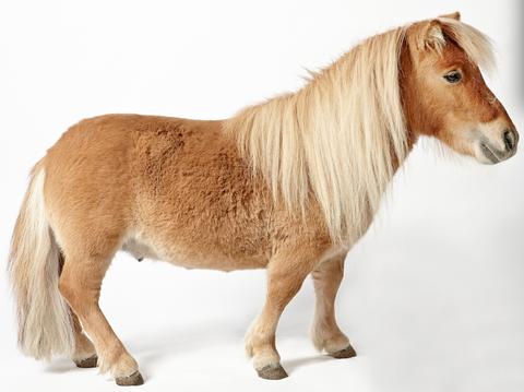 Brown, Skin, Vertebrate, Terrestrial animal, Snout, Pony, Horse, Neck, Fawn, Liver,