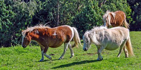 Natural landscape, Horse, Pasture, Landscape, Working animal, Pony, Terrestrial animal, Mane, Wildlife, Grassland,