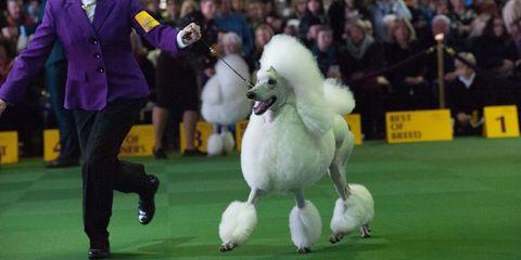 Human, Dog sports, Animal sports, Dog breed, Dog, Fur, Audience, Conformation show, Kennel club, Junior showmanship,