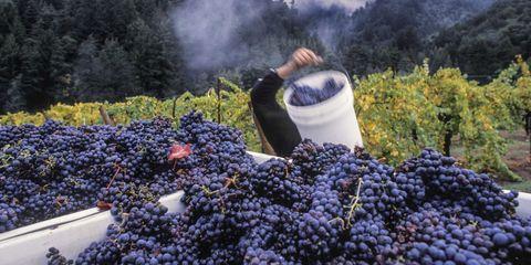 Agriculture, Fruit, Shrub, Lavender, Field, Plantation, Berry, Produce, Grapevine family, Garden,