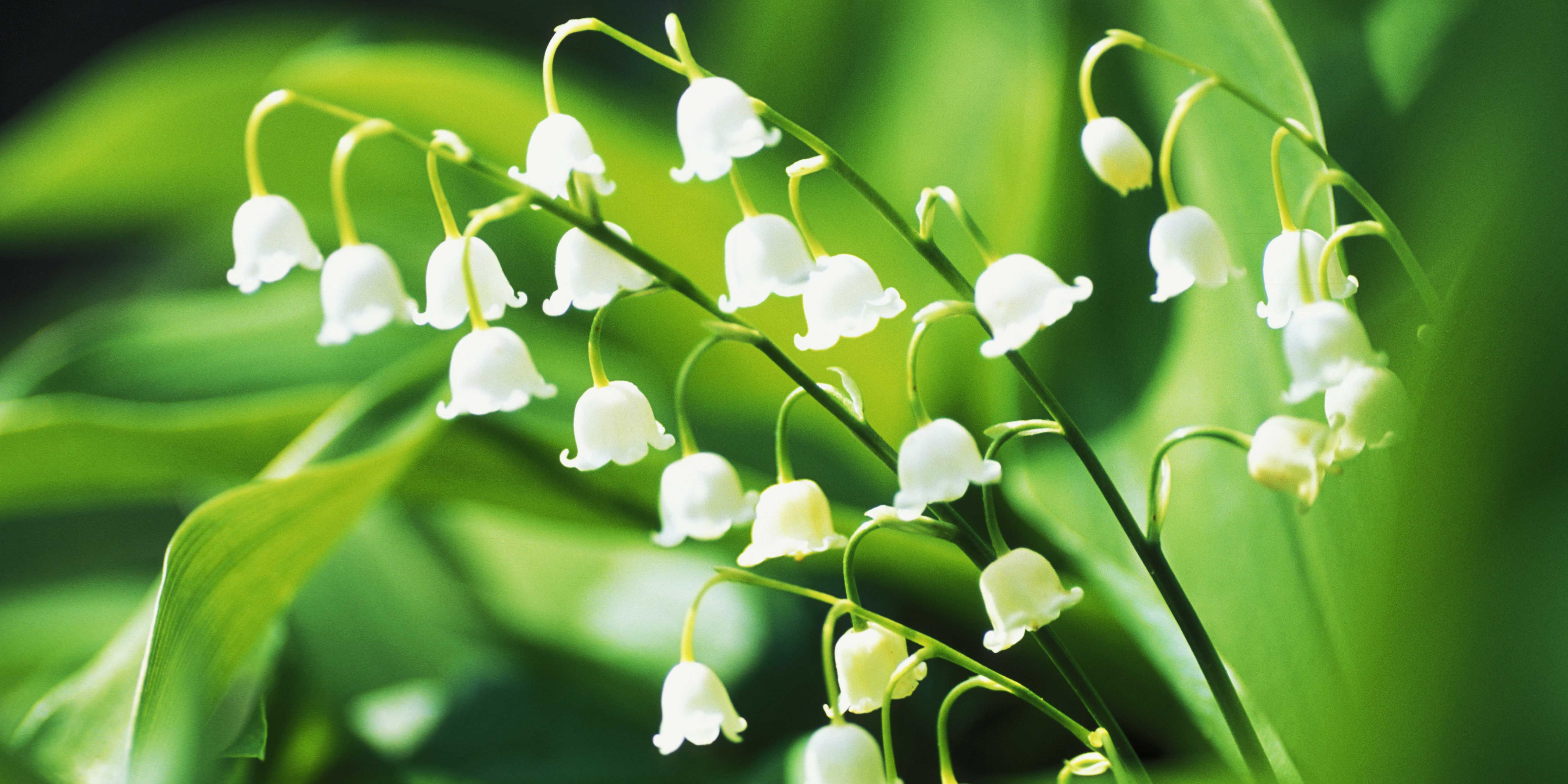 13 things you didnt know about lily of the valley izmirmasajfo Choice Image