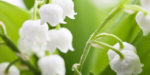 13 Things You Didnt Know About Lily Of The Valley