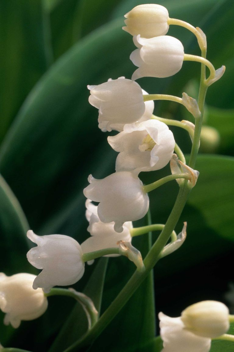 Image result for you are the lily of the valley