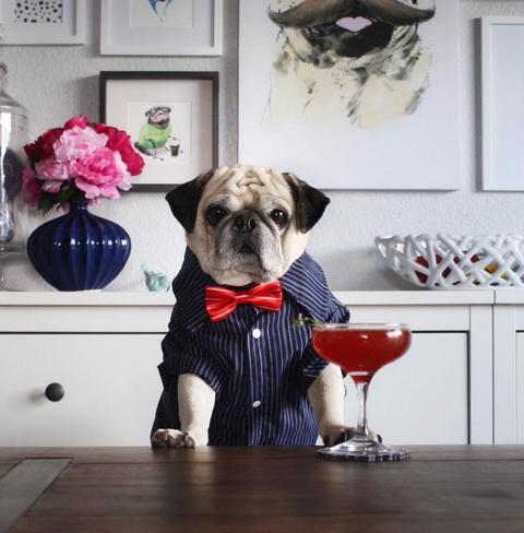 Dog, Carnivore, Room, Dog breed, Dog supply, Pug, Snout, Interior design, Working animal, Home,