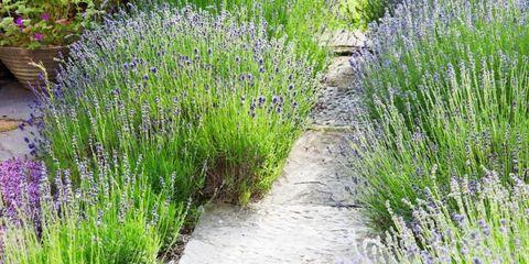 Grass, Plant, Plant community, Lavender, Shrub, Subshrub, Purple, Groundcover, Flowering plant, Grass family,