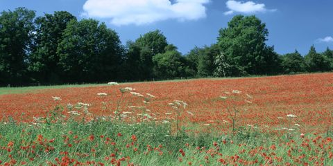 Field, Meadow, Grassland, Natural environment, Crop, Natural landscape, Plant, Agriculture, Coquelicot, Farm,