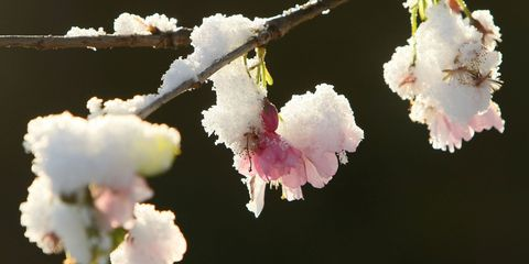 Daytime, Flower, Petal, Pink, Botany, Spring, Freezing, Flowering plant, Blossom, Snow,