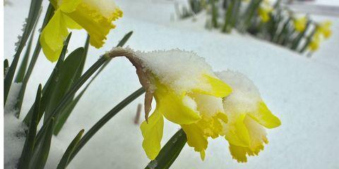Petal, Yellow, Branch, Winter, Flower, White, Freezing, Botany, Flowering plant, Snow,