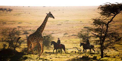 Giraffe, Organism, Natural environment, Giraffidae, Vertebrate, Landscape, Plain, Adaptation, Terrestrial animal, Horse,