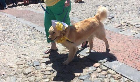 Human, Dog breed, Dog, Carnivore, Mammal, Sporting Group, Collar, Leash, Cobblestone, Fawn,