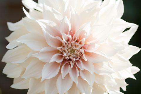 Petal, Flower, White, Botany, Close-up, Blossom, Still life photography, Symmetry, Peach, Annual plant,
