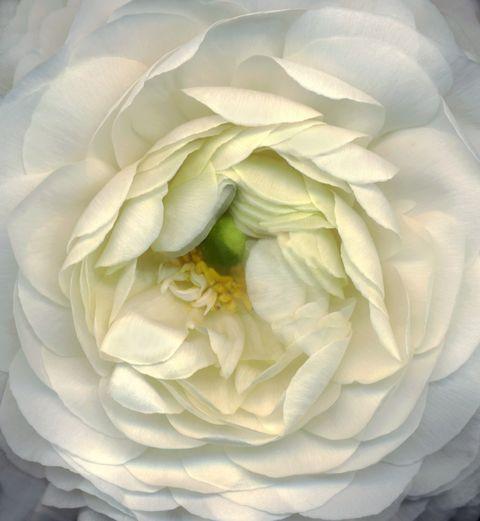Petal, Yellow, Flower, White, Flowering plant, Botany, Rose family, Garden roses, Rose order, Close-up,