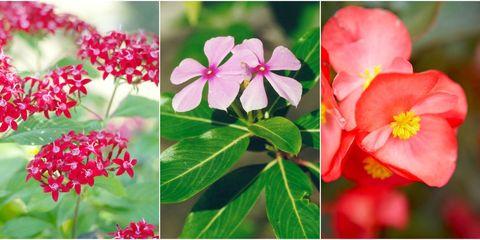 heat-resistant flowers
