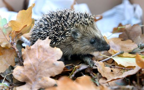 Hedgehog, Erinaceidae, Organism, Leaf, Snout, Adaptation, Domesticated hedgehog, Light, Black, Grey,