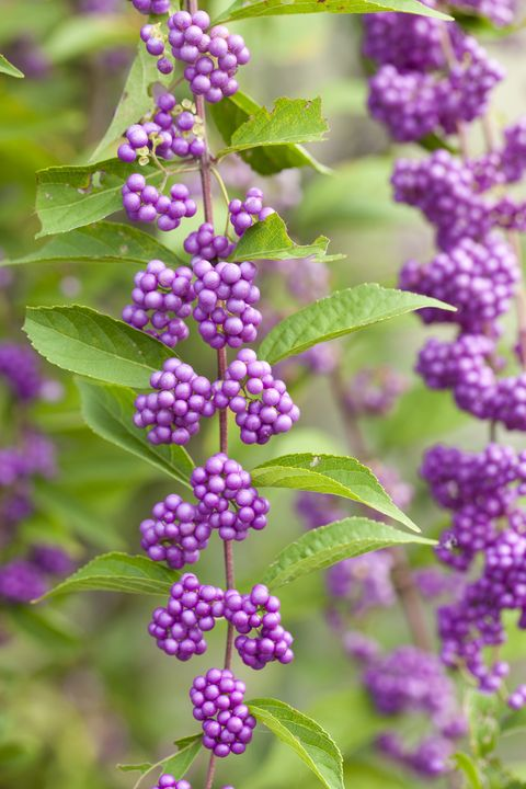 Purple, Violet, Lavender, Magenta, Annual plant, buddleia, Phyllanthus family,