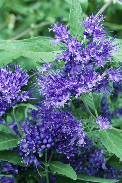Blue, Plant, Purple, Flower, Botany, Lavender, Violet, Flowering plant, Shrub, Annual plant,