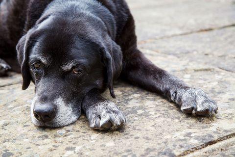 Dog breed, Skin, Vertebrate, Dog, Carnivore, Snout, Black, Comfort, Terrestrial animal, Grey,