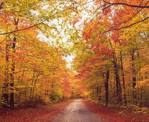 Deciduous, Nature, Vegetation, Natural environment, Natural landscape, Yellow, Branch, Leaf, Road, Landscape,