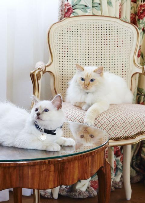Vertebrate, Felidae, Carnivore, Cat, Small to medium-sized cats, White, Whiskers, Fur, Interior design, Peach,