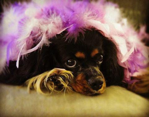 Dog breed, Dog, Carnivore, Purple, Pink, Violet, Magenta, Snout, Liver, Lavender,