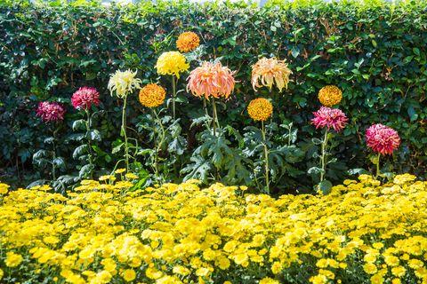 The New York Botanical Garden\'s Chrysanthemum Exhibit Took 11 Months ...