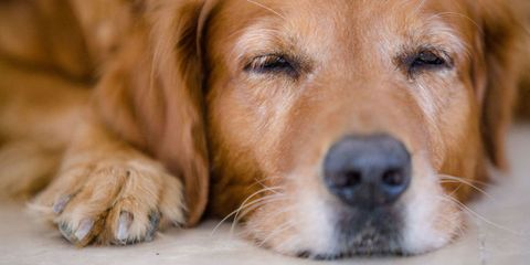 Dog breed, Brown, Skin, Dog, Carnivore, Mammal, Snout, Iris, Whiskers, Fawn,