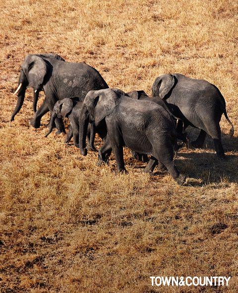 organism, elephant, vertebrate, elephants and mammoths, terrestrial animal, adaptation, ecoregion, african elephant, plain, wildlife,