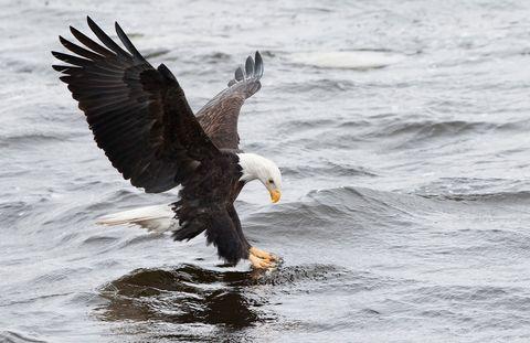 Nature, Fluid, Vertebrate, Organism, Bird, Liquid, Beak, Bald eagle, Wing, Sea eagle,
