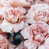 Petal, Organism, Flower, Pink, Botany, Flowering plant, Peach, Colorfulness, Close-up, Spring,