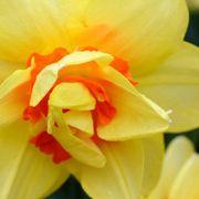 Flower, Flowering plant, Petal, Yellow, Plant, Close-up, Orange, Narcissus, Botany, Spring,