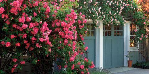 Flower, Flowering plant, Plant, Shrub, Pink, Tree, Rosa wichuraiana, Spring, Woody plant, Botany,