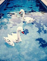 Swans in their habitat.