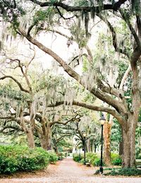 Old Savannah live oaks covered in Spanish moss.
