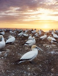 A gannet colony at sunrise on Cape Kidnappers.