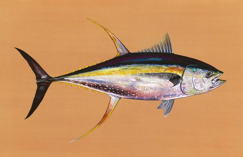 A yellowfin tuna (Bimini, Bahamas).