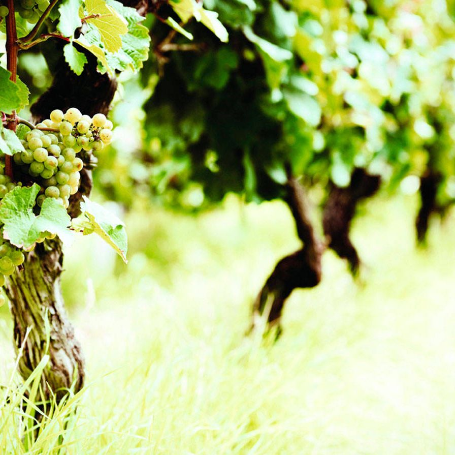 Riesling vines in Napa Valley.