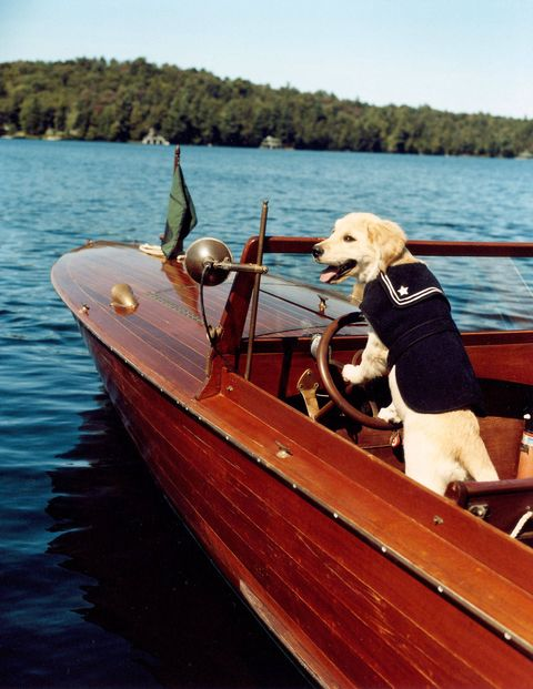 Dream, one of the golden retriever residents of Camp Longwood, the authors' great camp on Spitfire Lake, pilots a Penn Yan boat.
